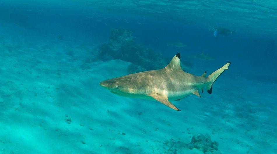 Atoll Black Tip Shark French Polynesia Pacific Rangiroa Reef Shark Shark Tuamotu