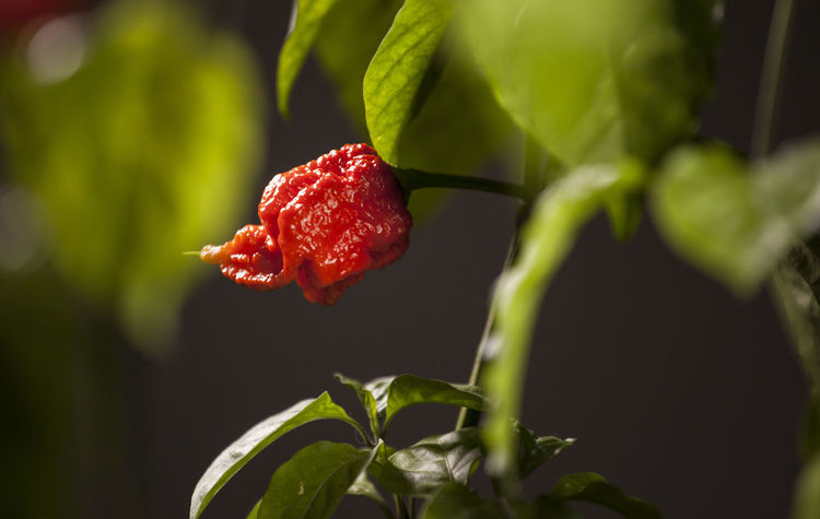 Beauty In Nature Carolina Reaper Close-up Day Fragility Freshness Fruit Green Color Growth Hot Hot Pepper Hot Peppers Plants Leaf Nature No People Outdoors Plant Red