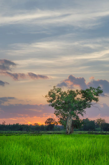 Sun is gone, left the tree and rice field enjoy the night time waiting for the next day to come. Wow so peaceful so nice. Tree Sunset Nice Atmosphere View Scenics Sunlight Sky Cloud - Sky Twilight Drawn Time Green Beatiful Nature Lanscape Peaceful Relaxing Alone Night Lights