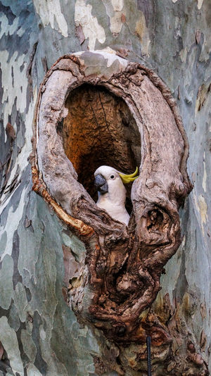A sulphur-crested cockatoo (Cacatua galerita) building a nest in a hollow of a tree Animal Themes Animal Wildlife Animals In The Wild Beauty In Nature Bird Bird Nest Close-up Cockatoo Day Nature Nest No People One Animal Outdoors Parrot Perching Textured  Tree Tree Trunk Young Bird