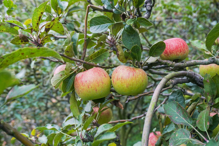 Photos of Rome beauty type apples Fruit Healthy Eating Food Food And Drink Plant Leaf Plant Part Tree Growth Freshness Branch Nature Wellbeing No People Day Ripe Close-up Agriculture Focus On Foreground Green Color Organic Outdoors Lychee Apple Apple - Fruit