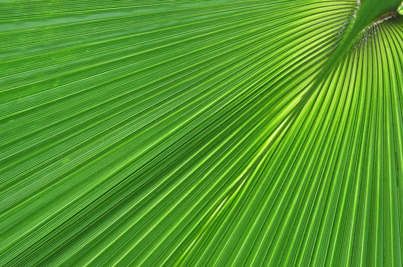 Green palm tree leaf macro. Natural, organic background pattern Palm Tree Leaves Plant Veins In Leaves Abstract Background Backgrounds Beauty In Nature Beauty In Ordinary Things Botany Close Up Close Up Close-up Freshness Green Color Growth Leaf Leaf Vein Nature Nature Backgrounds Nature Pattern Outdoors Palm Leaf Palm Tree Pattern Tree Veins