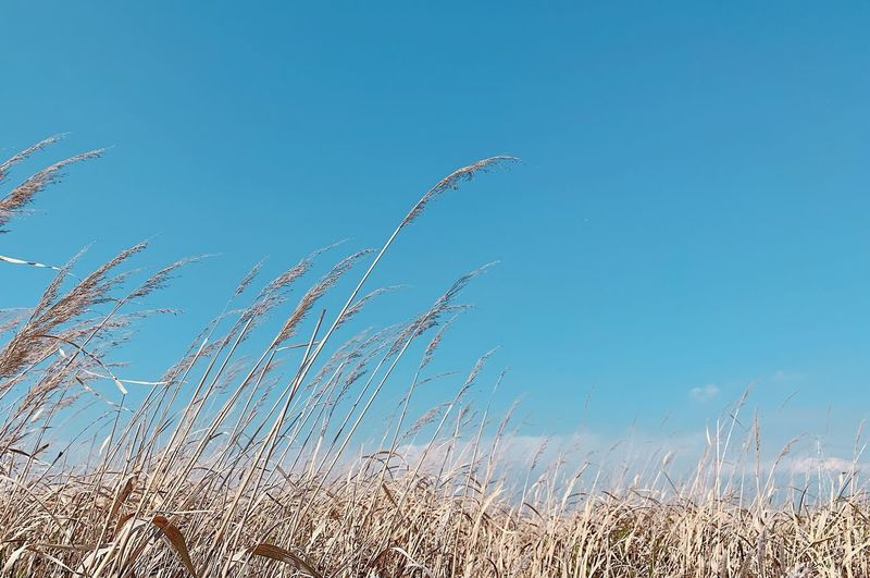 Low angle view of stalks in field against clear blue sky