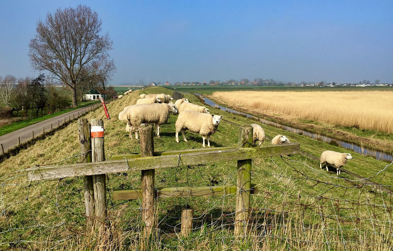 dutch spring in amsterdam Mammal Domestic Animals Domestic Livestock Pets Field Animal Themes Animal Plant Land Landscape Group Of Animals Vertebrate Environment Agriculture Rural Scene Sheep Barrier Tree Sky No People Herbivorous Outdoors