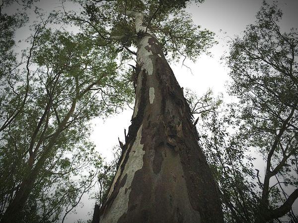Nature Nautural Beauty Tree Larfe Large Tall Taking Photos Like4like Like For Like