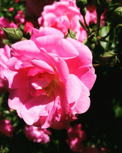 Flower Petal Nature Beauty In Nature Pink Color Fragility Growth Plant Wild Rose No People Flower Head Blooming Close-up Outdoors Day Freshness