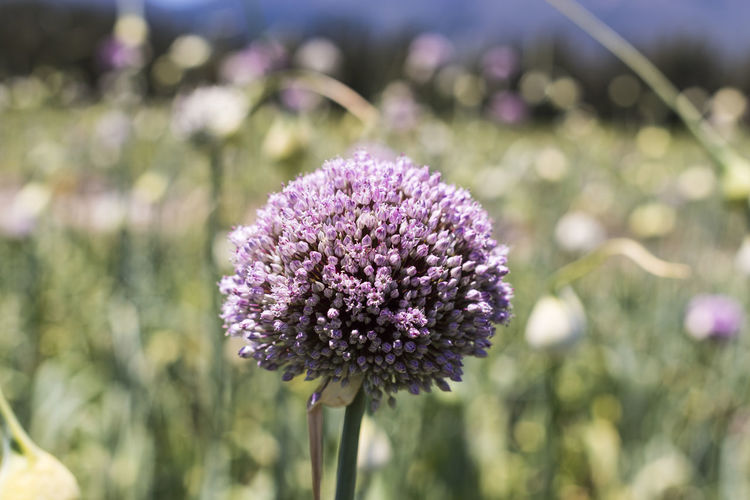 Close-up of allium flower blooming outdoors