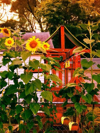 Home Is Where The Art Is Photographybybrookechanelle Backyard Backyard Garden Backyard Livin' Summer Yellow Flowers Yellow Sunflower Sunflowers Summer Time
