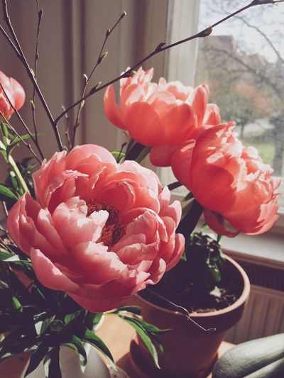 Peonies Flower Petal Plant Growth Freshness Flower Head Fragility Blooming Day No People Close-up Focus On Foreground Indoors