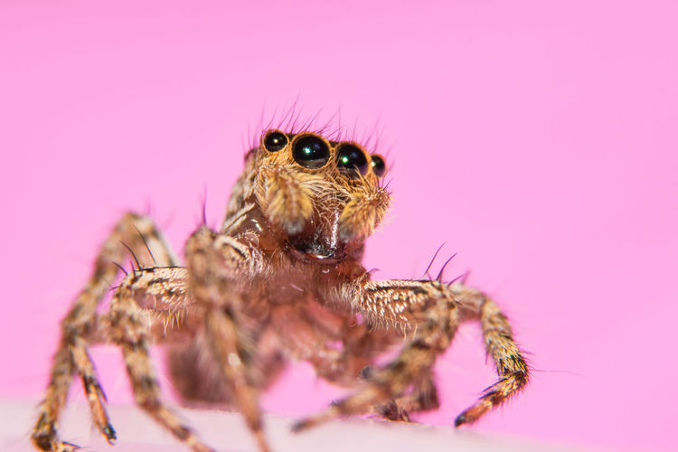 Close-Up Of Jumping Spider Against Pink Wall