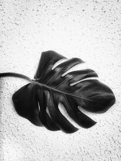 Monstera leaf Monstera Monstera Leaf Black Leaf Concrete Background Beach Sand Sunlight Close-up