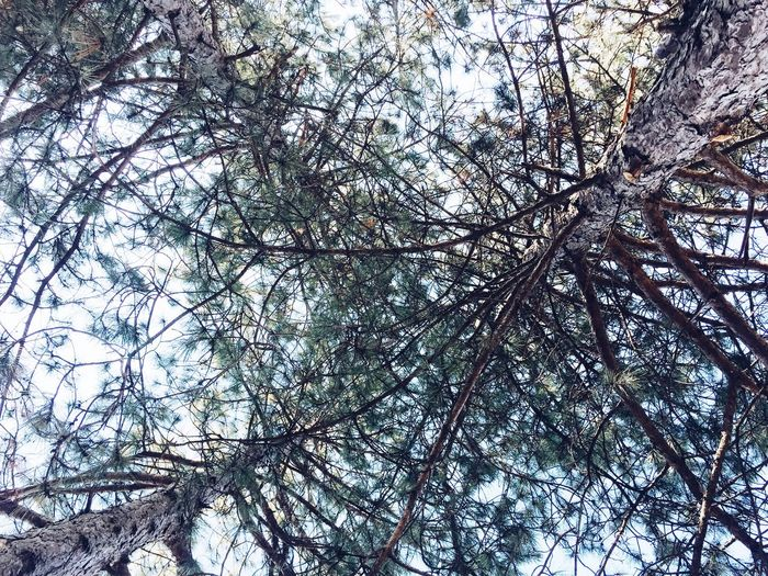 Web Forest Pine Tree Peace Tree Branch Low Angle View Nature Beauty In Nature Day No People Scenics Tranquility Freshness Outdoors Sky Fragility Growth Tree Trunk Forest