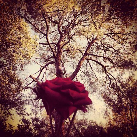 Tree Garden Photography Garden Rose - Flower Roses Oroville California