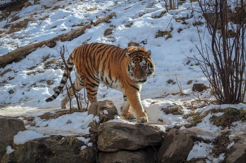 Tiger Animal Themes Animal Mammal One Animal Animals In The Wild Animal Wildlife Vertebrate Winter Nature Snow Feline Cold Temperature Animal Markings Land Day