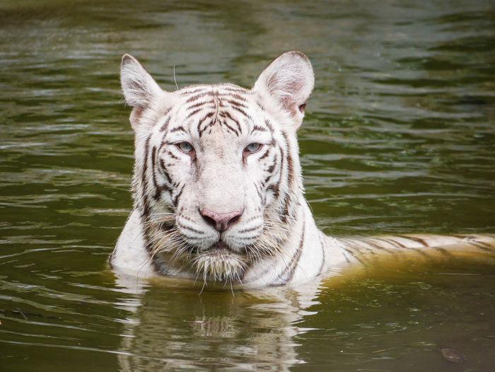 White Tiger in