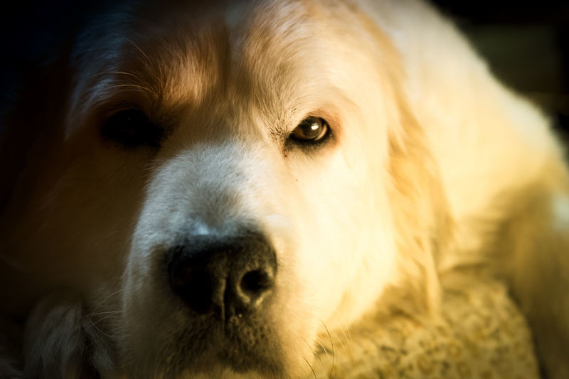 Annie, our beloved Great Pyrenees, waking up from some sleepy time zzz x Animal Eye Animal Nose Close-up Dog Domestic Animals Fluffy Great Pyrenees I Love My Dog No People Pets Sleepy Snout Pet Portraits