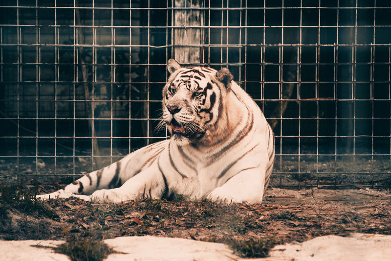 White tiger sitting in a cage