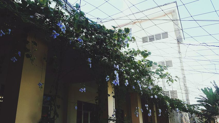 Taking Photo Taking Photos My Friend Love School Yard In My School Flowers Vines Climbing Purple Flower Nice EyeEm Gallery