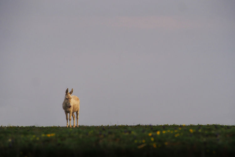 Donkey Standing On Grassy Field Against Sky