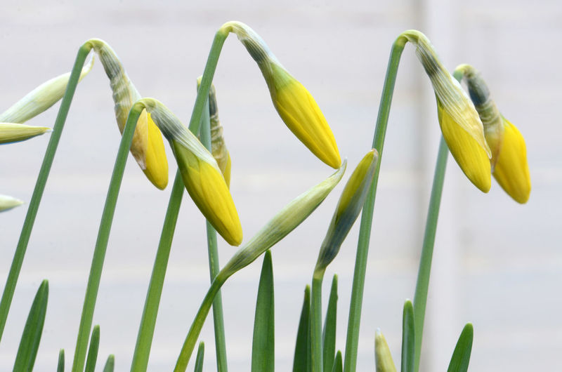 Spring to life Growth Focus On Foreground Botany Flower Head Flowering Plant Daffodil Budding Yellow Outdoors Spring Flowers Opening