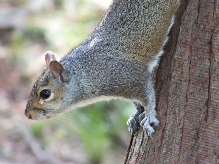Animal Animal Photography Close-up Gray Squirrel Mammal Nature Nature_collection No People Outdoors Rodent Squirrel Squirrel Closeup Squirrel Life Squirrel Photo Squirrels Tree Tree Trunk Wildlife Wildlife & Nature Wildlife And Nature Wildlife Photography Wildlife Photos Wildlife_perfection Wildlifephotography
