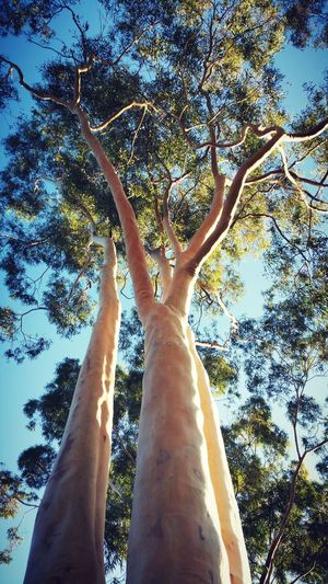 Next to out current rental is a park with a few Ghost Gum Gum Trees Trees White Tree