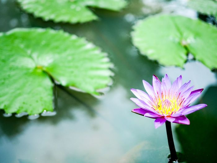 Lotus in the