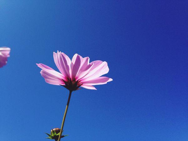EyeEm Fukuoka-shi コスモス 海の中道海浜公園 Blue Sky Flower