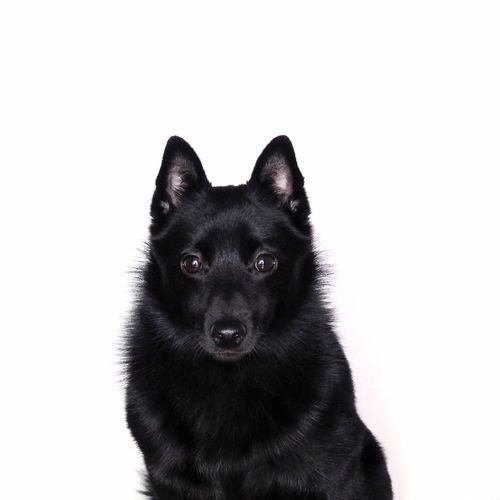 Schipperke Dog Portrait Contrast Pets Domestic Animals Animal Themes Studio Shot Black Color No People Close-up Black German Shepherd Day Minimal Looking At Camera One Animal White Background Dog Tshirt Print Poster Wallpaper Suit