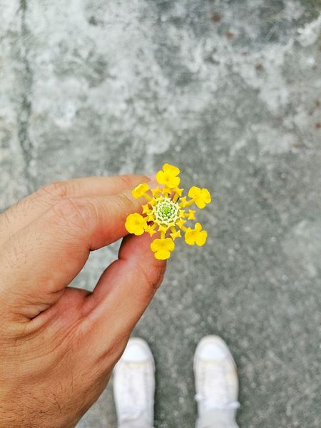 On The Road On The Street Yellow Yellow Flower Hand Holding Flower Hand Holding Contrast Found On The Ground Focus On Object Focus On Foreground