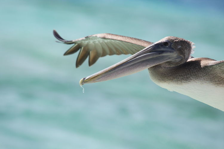 Close-up of pelican flying over sea