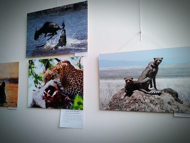 У этих фото стояла долго,впечатлили меня весьма тогда... хищники добыча Animals Africa