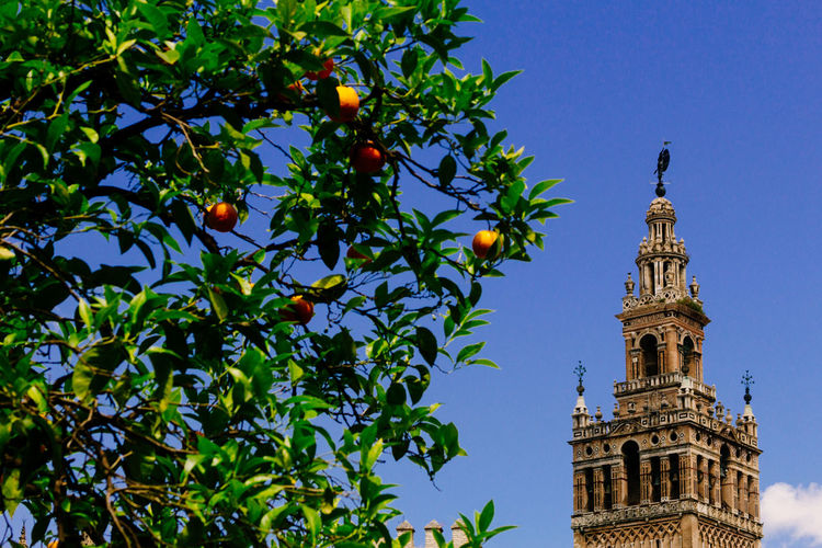 la giralda seville Andalucía Andalusia Architecture Branch Building Exterior Built Structure Clear Sky Day Giralda Giralda Tower Growth Leaf Low Angle View Nature No People Outdoors Sky SPAIN Tower Tree