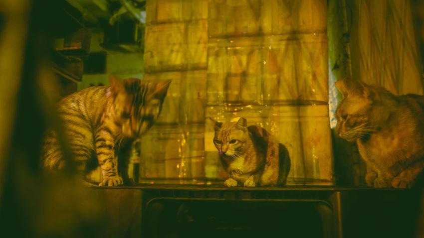 Pets Domestic Cat Close-up