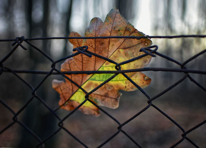 Metal Fence Close-up Focus On Foreground Chainlink Fence Change Boundary Leaf Autumn Barrier No People Plant Part Outdoors Pattern Dry Leaves