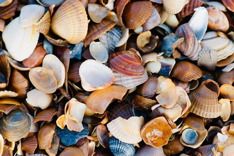 Seashells and muskels at north sea. Tourist Destination North Sea Region Tide Background Landscape Sand Seascape Coast Northsea Beach Large Group Of Objects Abundance Full Frame Backgrounds Shell Choice No People Seashell Animal Shell Close-up Day Variation High Angle View Outdoors Detail Food Animal Wildlife Still Life Food And Drink Heap