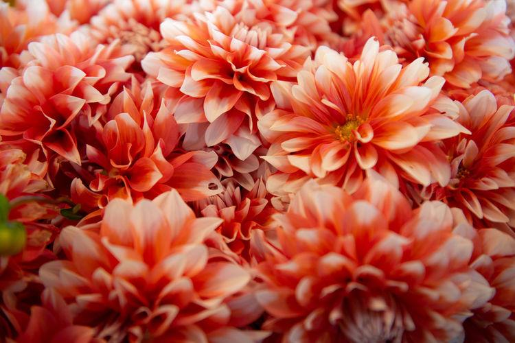 Close-up of orange dahlia flowers