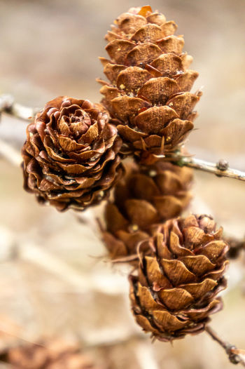 Close-up of dried pine cone on plant