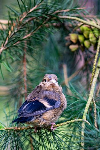 Juvenile fledgling bullfinch, pyrrhula pyrrhula, perched on pine conifer tree branches