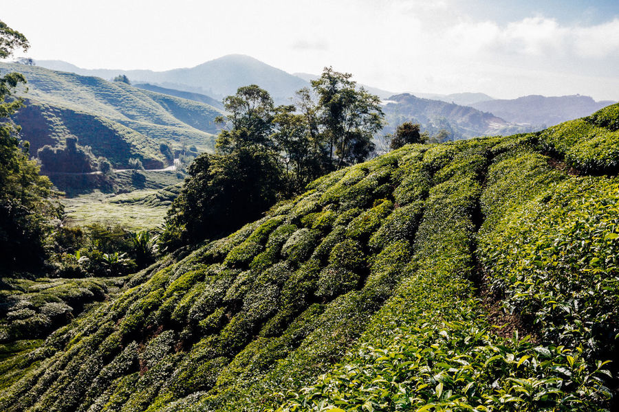 Growth Nature Sunlight Beauty In Nature Blue Sky Day Environment Land Landscape Landscapes Mountain Mountain Range Nature No People Outdoors Plant Plantation Scenics - Nature Sky Tea Leaves Tea Plant Tea Plantation  Tea Plantation Terrace Tranquility Tree