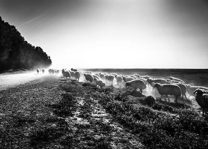 Ricoh Gr Ricohgr Blackandwhite Monochrome Shepherd Sheep Convoy  Lamb Iraq Highcontrast