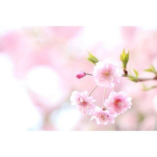 八重桜 紅八重桜 八重桜 桜 サクラ 花 植物 仙台市 花見 Doublecherryblossoms Cherryblossoms
