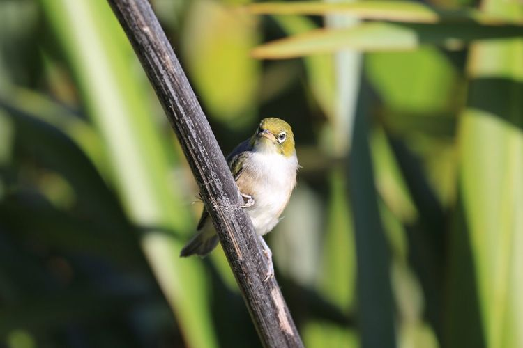 Silvereye (Zosterops lateralis) Animal Themes One Animal Bird New Zealand New Zealand Scenery Waxeye Silvereye Animal Wildlife Perching Nature No People Day Outdoors Close-up