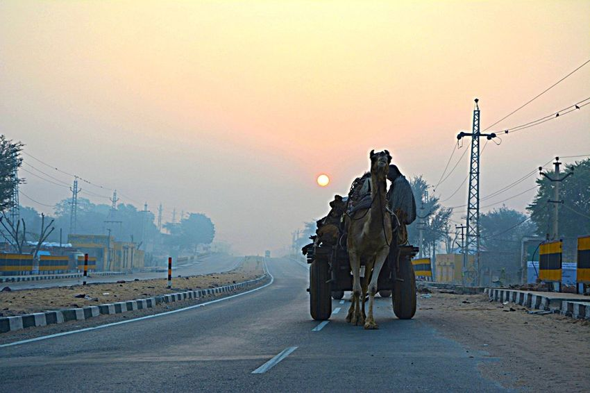 The Drive People Transportation Camel Man Made Object India Local Travel Tourism Rajasthani Culture City Beauty In Nature One Man Only Person Land Vehicle Travel Destinations Day Morning Sun Morning Drive To Work