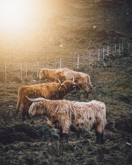 Mammal Animal Animal Themes Livestock Domestic Animals Group Of Animals Domestic Pets Field Land Vertebrate Nature No People Grass Standing Animal Wildlife Cattle Grazing Sky Sheep Herbivorous Highland Cow Isle Of Skye Scotland Cow