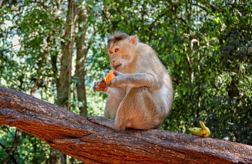 Sitting pretty Animals In The Wild Banana Day DudhsagarFalls Eating Fruit Monkey One Animal Primate Rhesus Macaque Sitting Wildlife