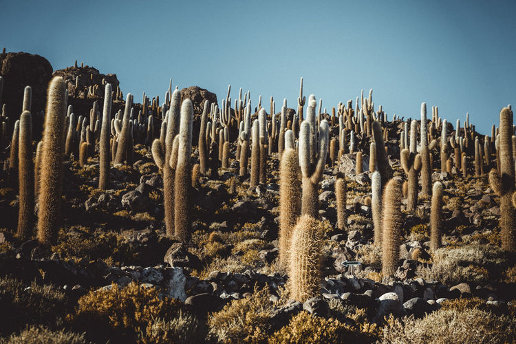 Low angle view of cactus plants on field against clear sky