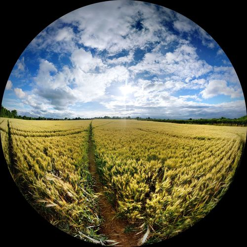 The View Around Me Sky Agriculture Cloud - Sky Crop  Field Nature Cereal Plant No People Rural Scene Scenics Beauty In Nature Fish-eye Lens Landscape Outdoors Day Fish-eyeem Fish-eye-view Summer Summertime Green Golden Blue White Blue Sky Clouds