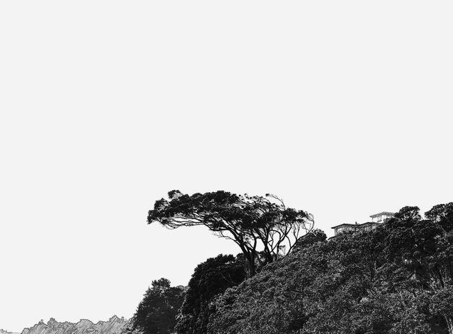 Tree Nature Silhouette Beauty In Nature Black And White Pohutukawa Wind