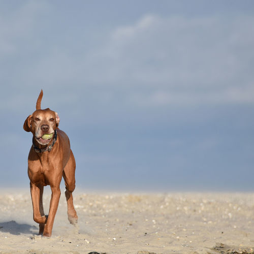 Portrait of dog playing with ball on beach against sky